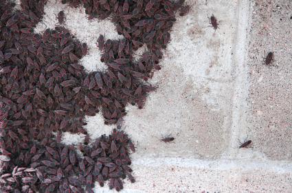 boxelder bug swarm